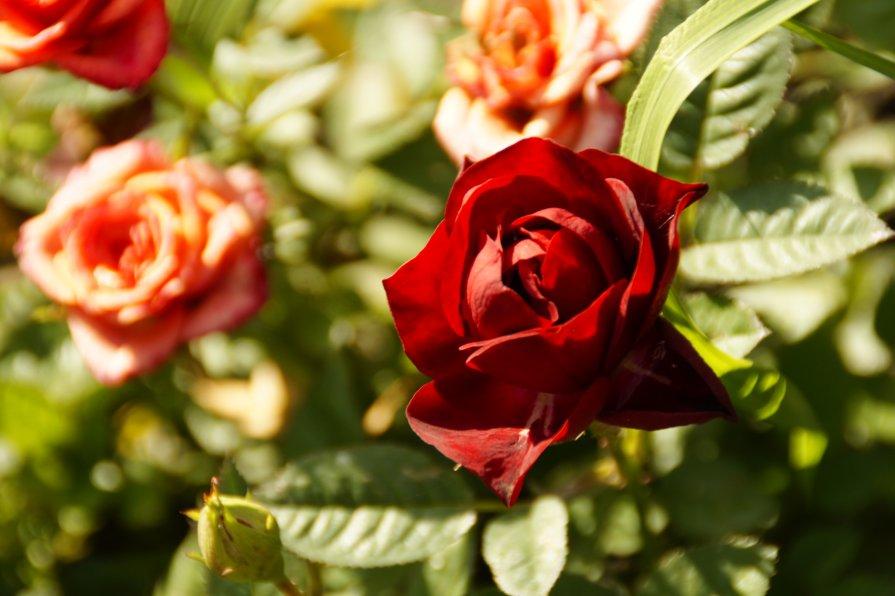 Розы - Дмитрий Симонов