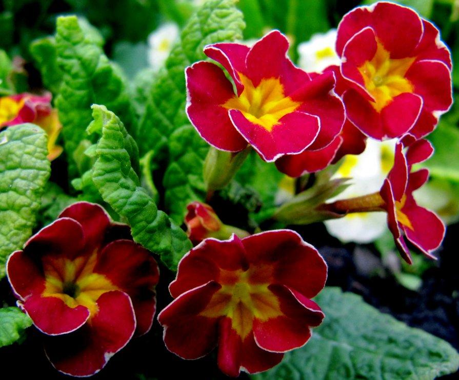 Первоцветы - Татьяна Лютаева