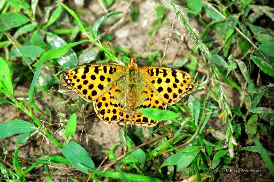 бабочка - Эдуард Аверьянов