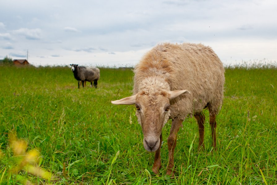овца - Иван Носов