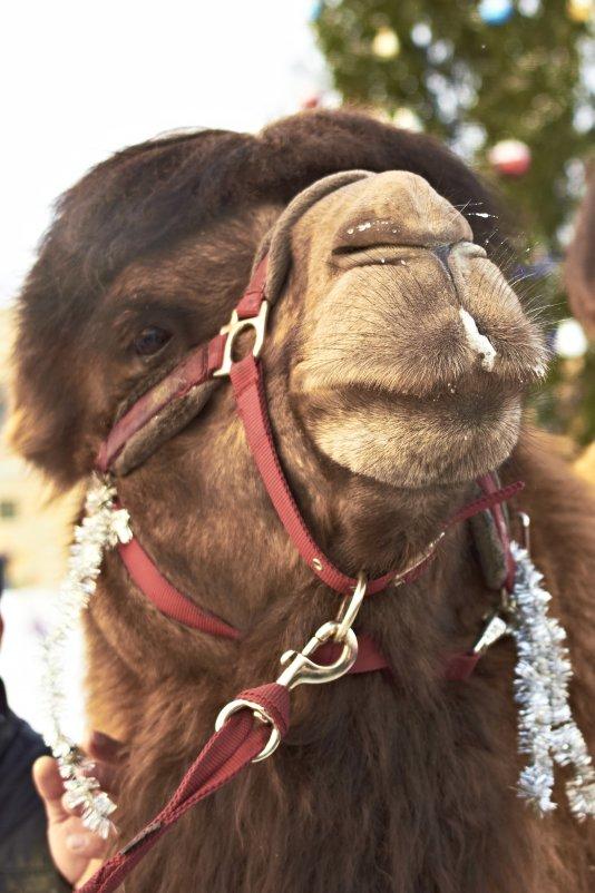 Верблюд Новогодний - Igor Pavlyuk