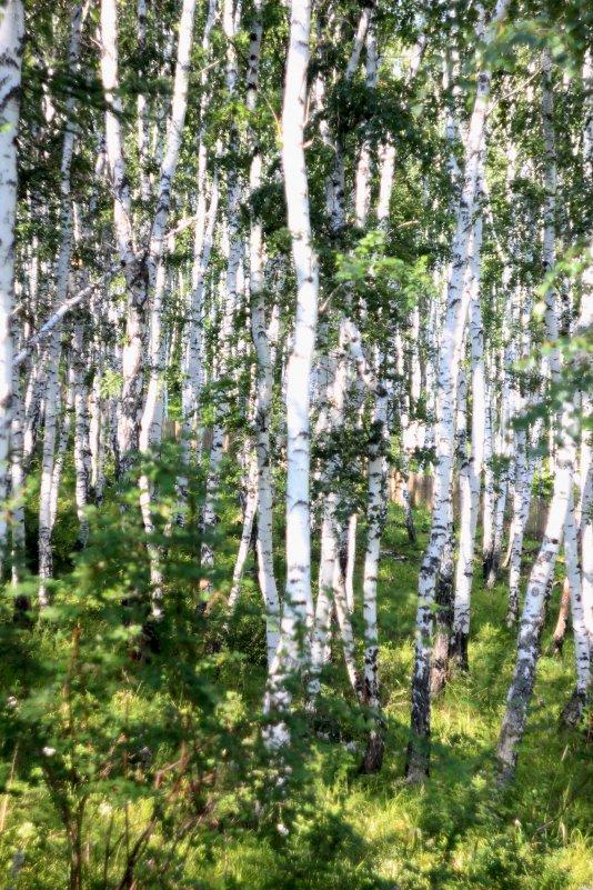 Березовый лес - Таня Харитонова