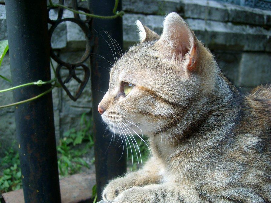 Железноводский кот - Dr. Olver