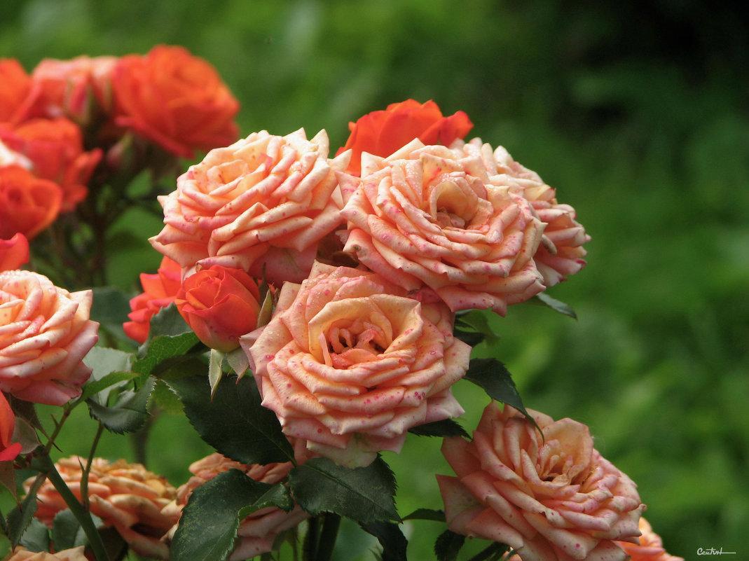 Розы, розы... - Юрий