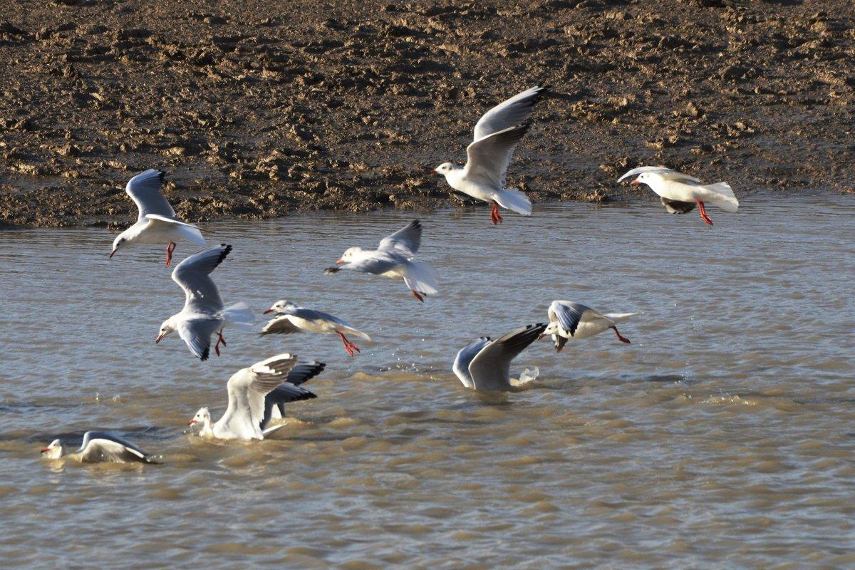фото как чайки ловят рыбу