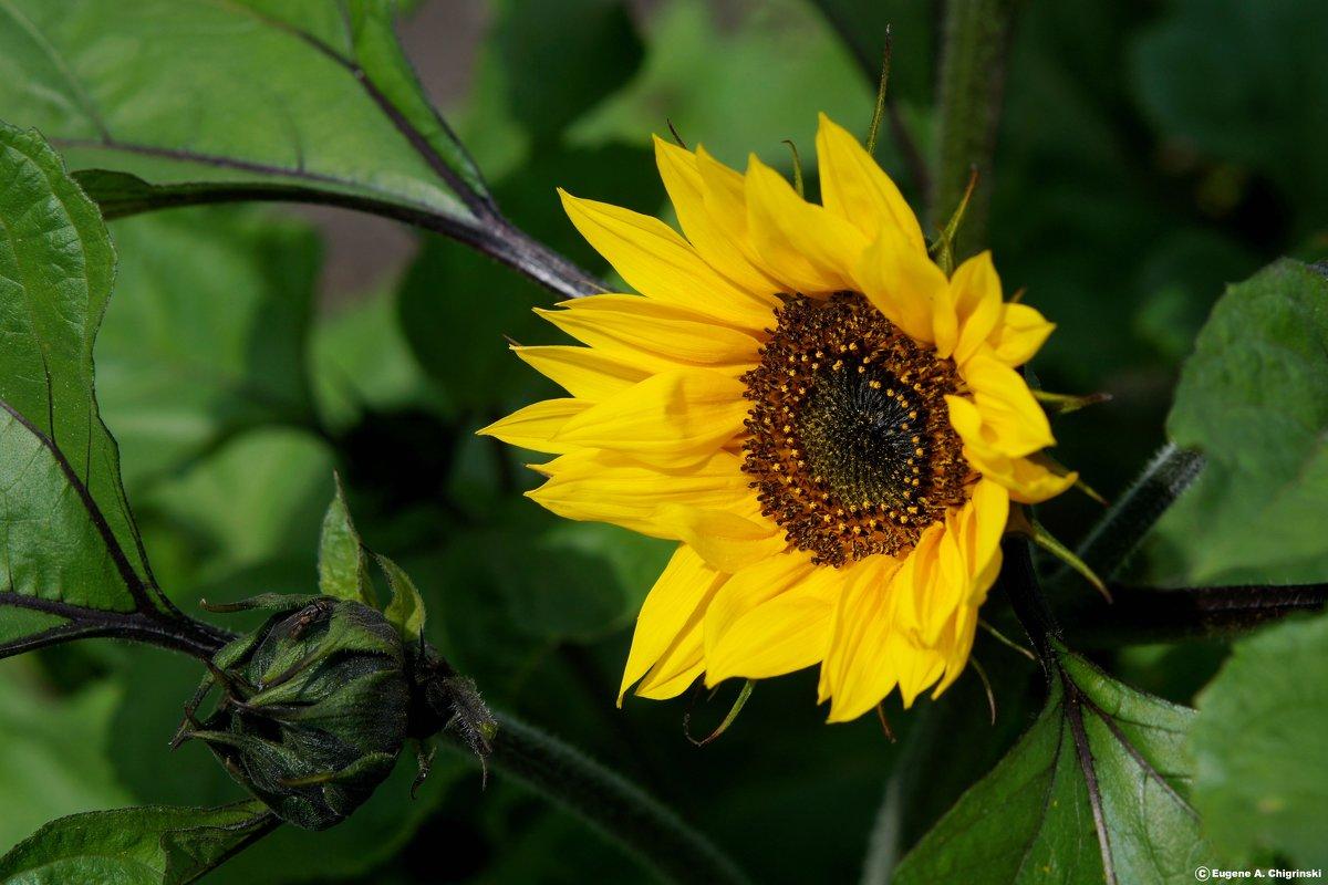 Цветы - Eugene A. Chigrinski
