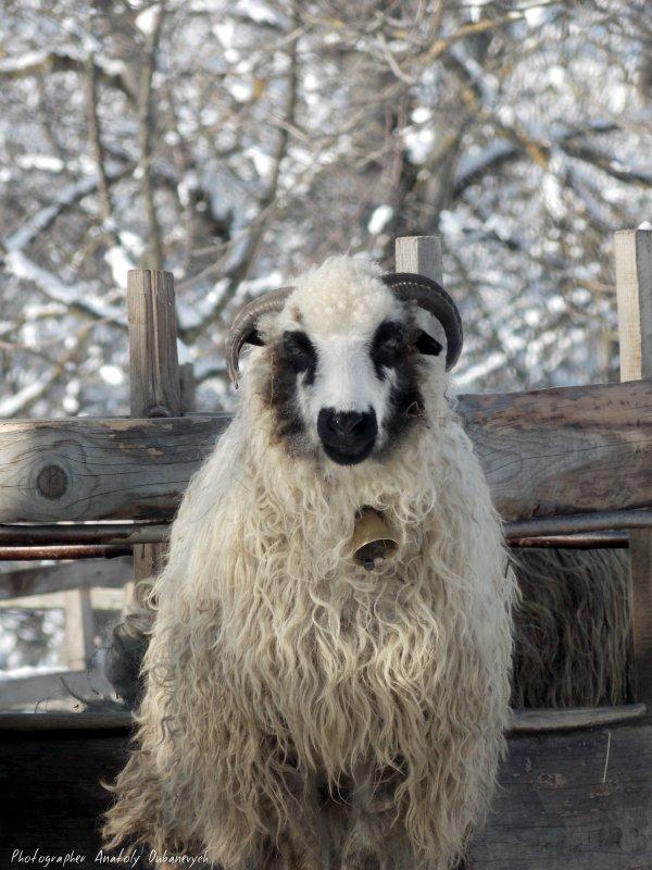 Вівця - Анатолій Дубаневич