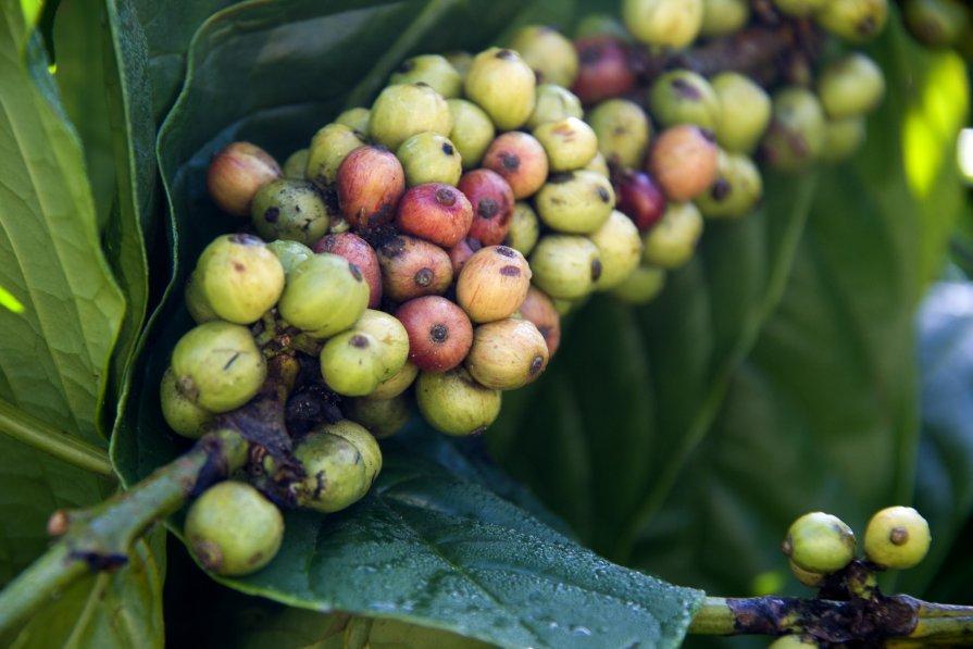 Зерна вьетнамского кофе - Ekaterina Shchurina