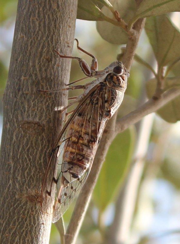 Испанская цикада - Наталья Наталья