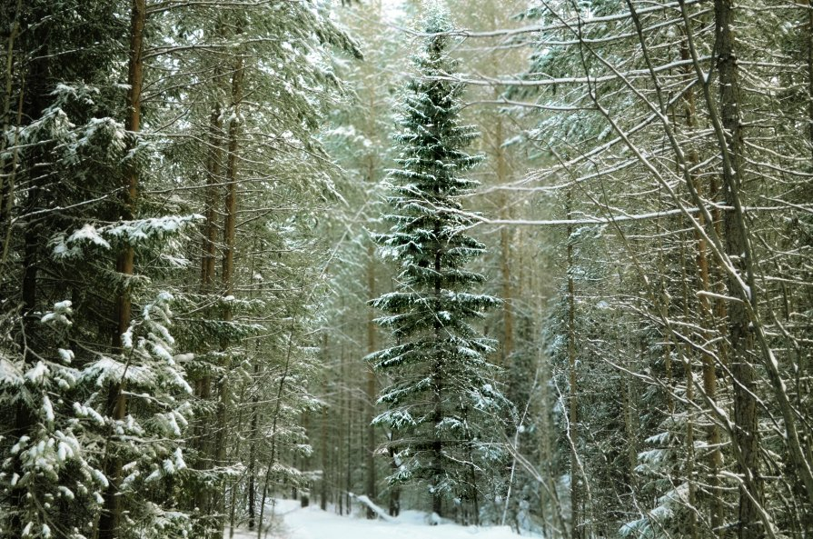 Зима в теплых тонах.Ель - Сергей Угренев