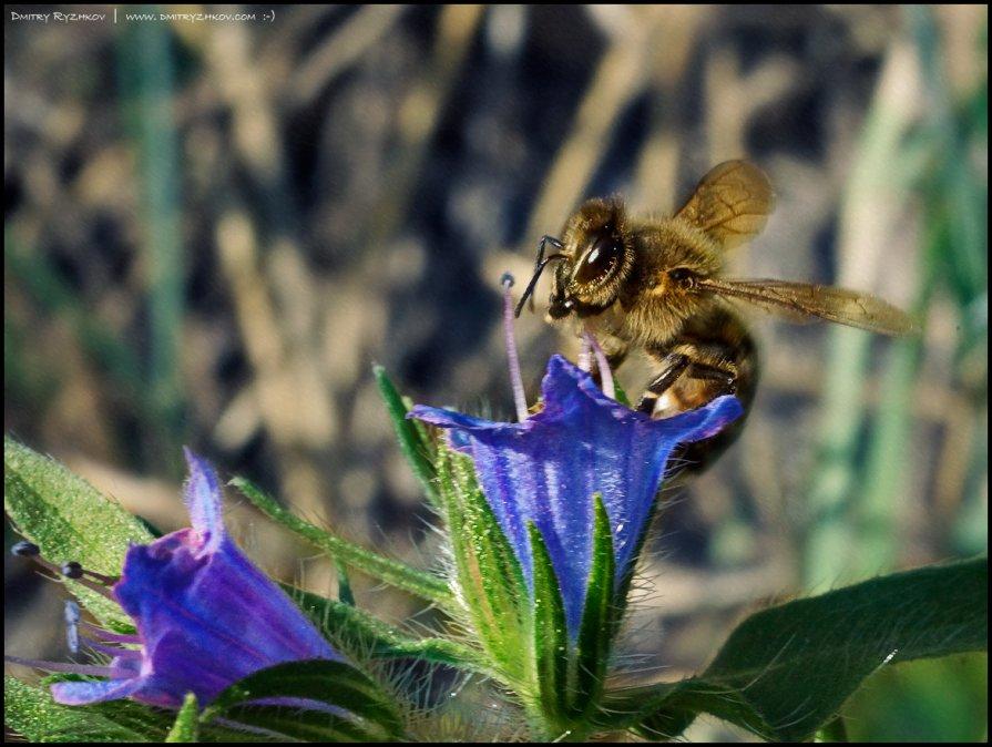 Пчела - DR photopehota