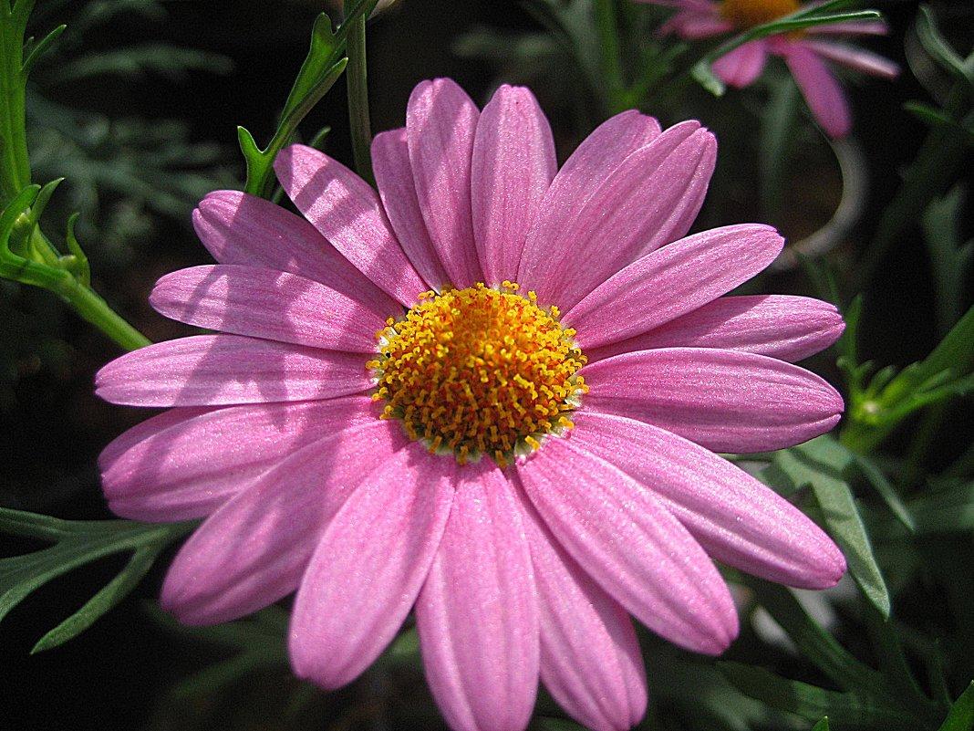 Argyranthemum - laana laadas