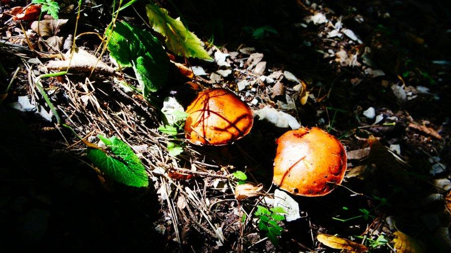 Грибочки в горном лесу РСО-Алания - Zak Doguzov