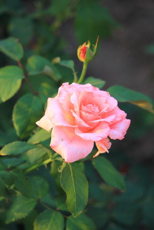 роза - Olga Volkova