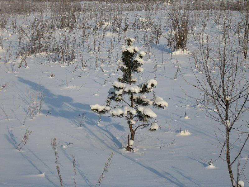 В лесу родилась елочка... - Вера Андреева