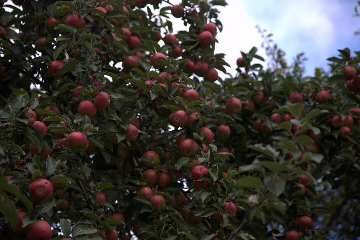 яблочки - виталий К