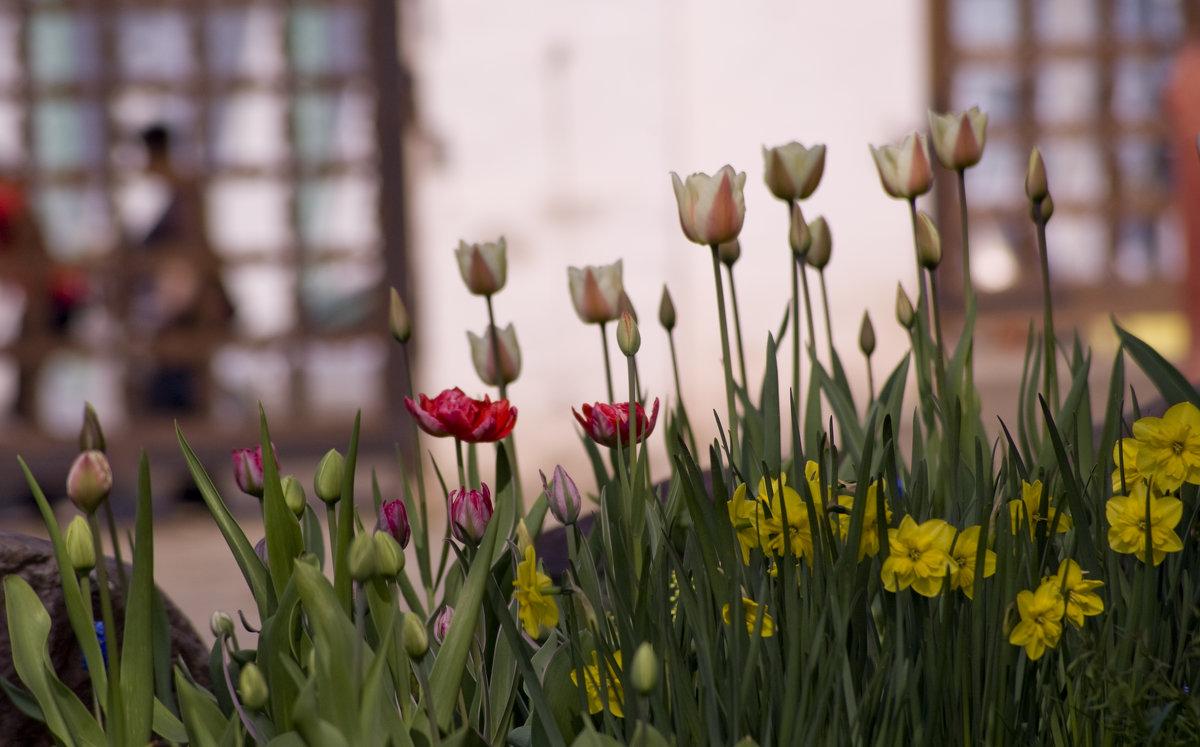 Тюльпаны - Люба Мельник