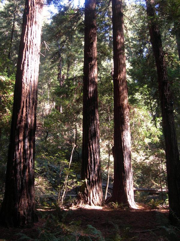 Секвойи-гиганты недалеко от Сан-Франциско. - Владимир Смольников