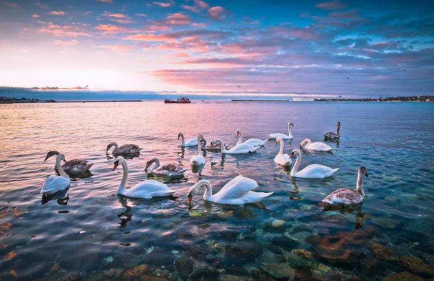 Лебеди в Севастопольской бухте - Владимир Яковлев