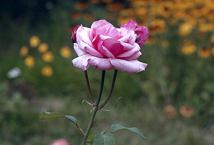 Холодная роза - Ирина Татьяничева