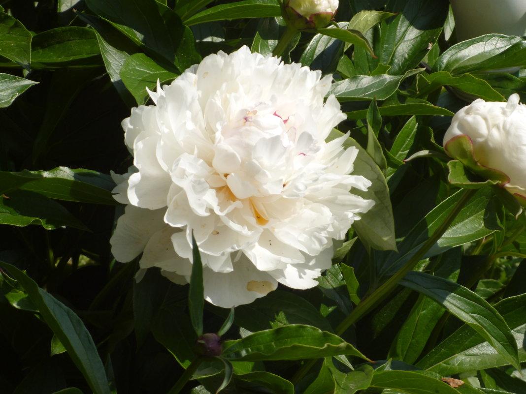 цветы моего сада - шубнякова