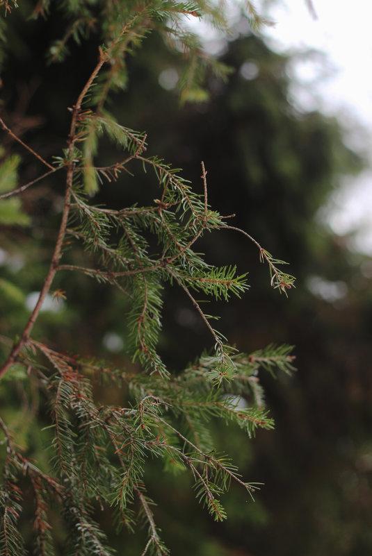 Еловая ветвь - Алёна Белянина