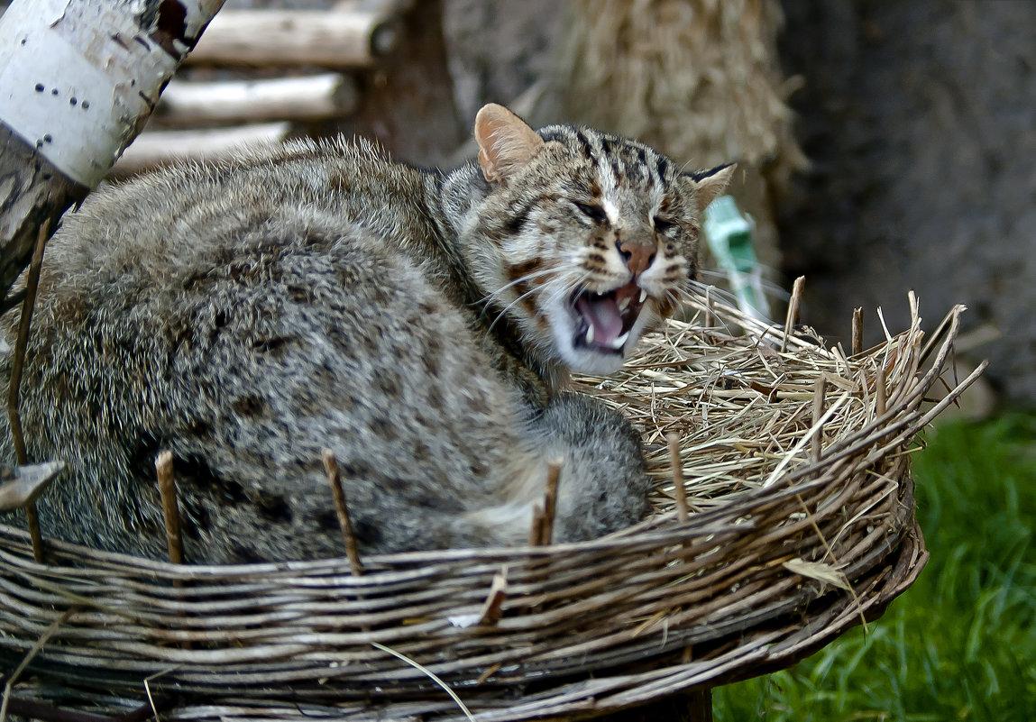 Сибирский кот камышовый
