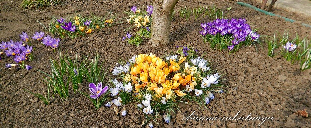 Крокус выращивание и уход в саду 40