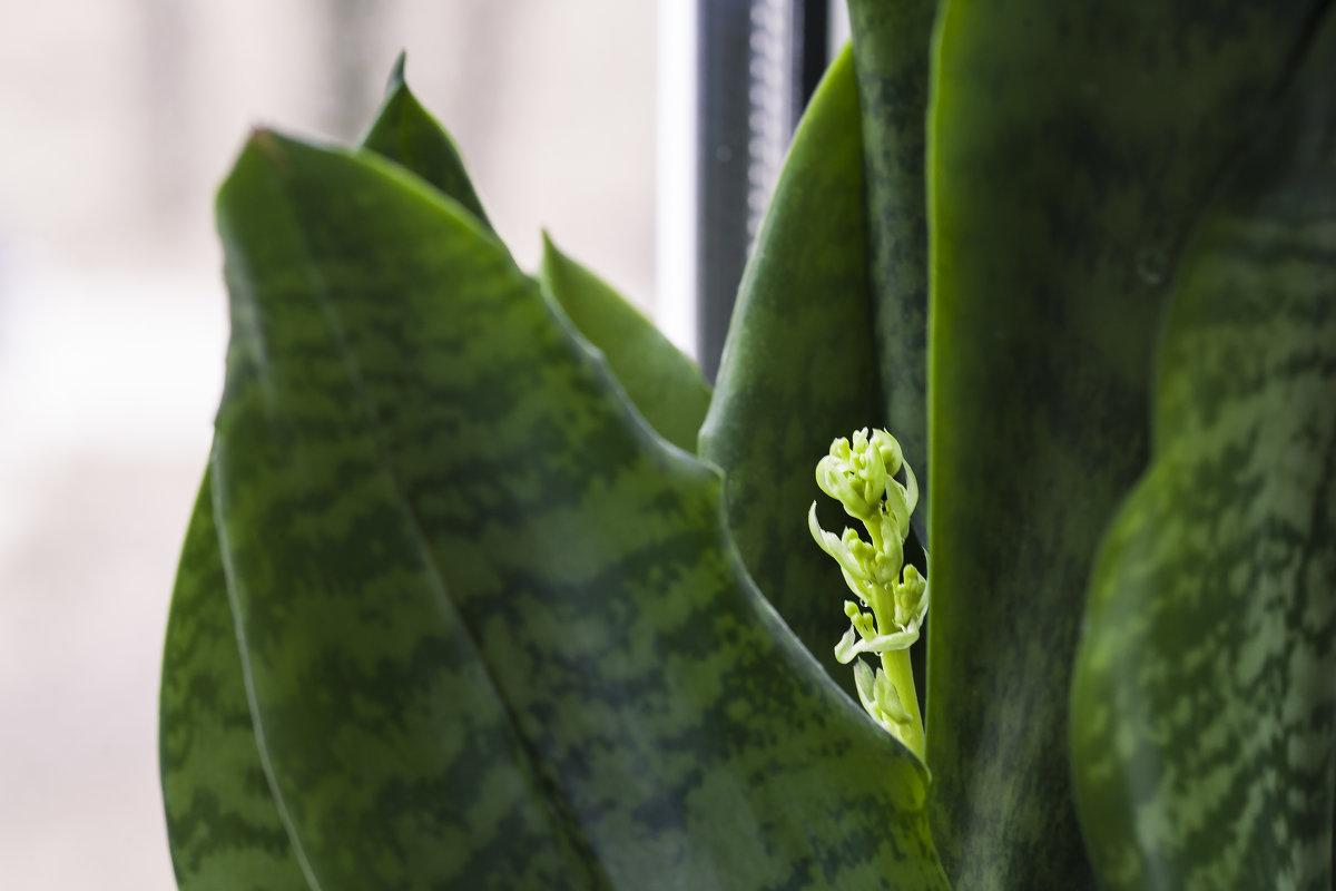 Цветок тёщин язык фото приметы когда цветет
