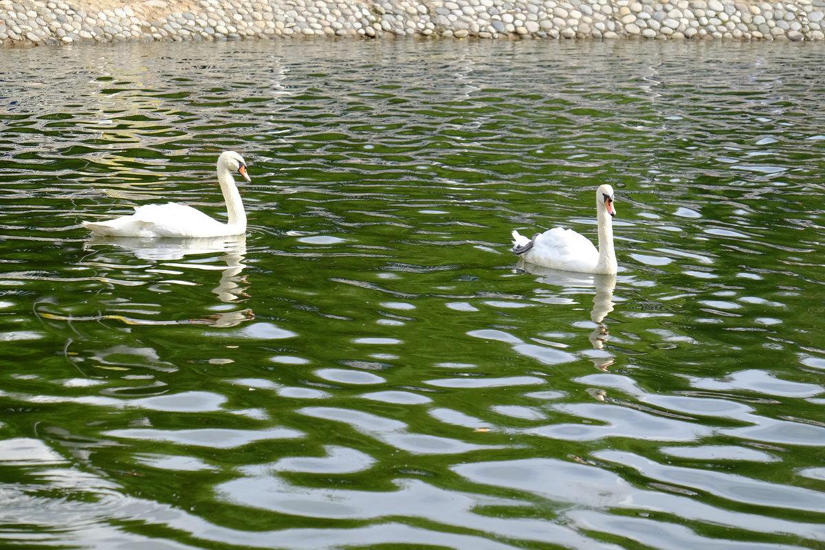 Лебеди в Лианозовском парке - Сергей Ткаченко