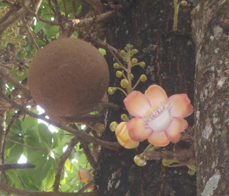 Фото цветов хлебное дерево