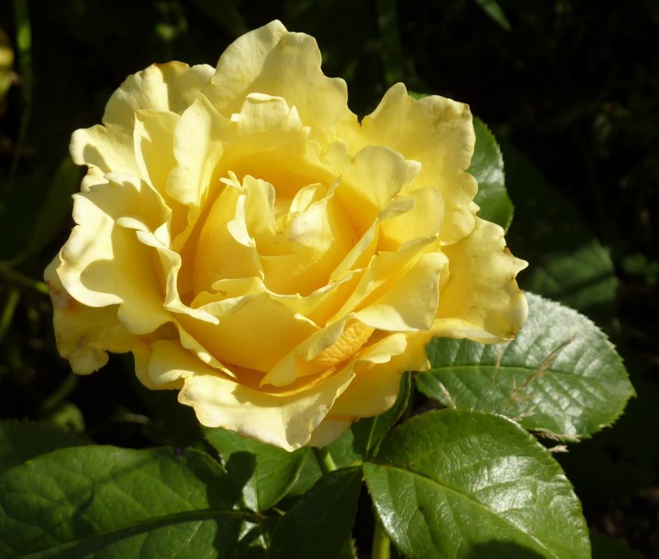 желтая роза - Наталья Клян