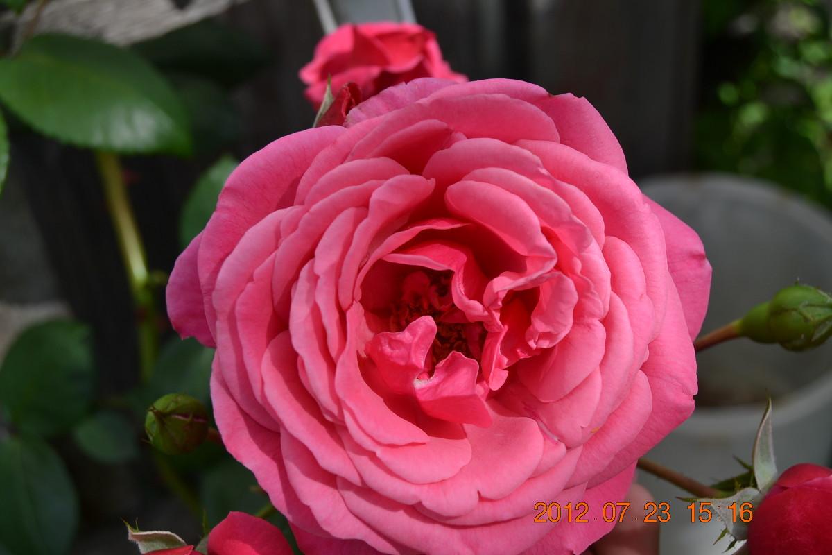 роза - foto kto