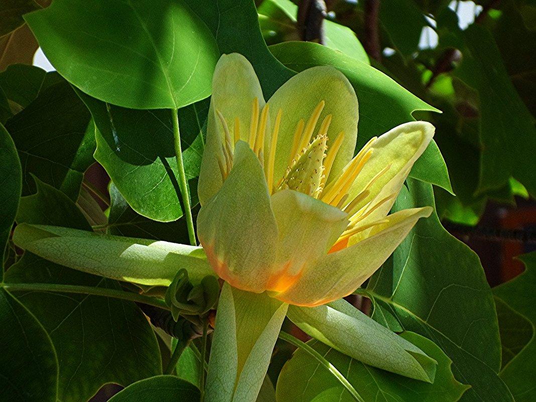 То же что тюльпанное дерево в домашних условиях 166