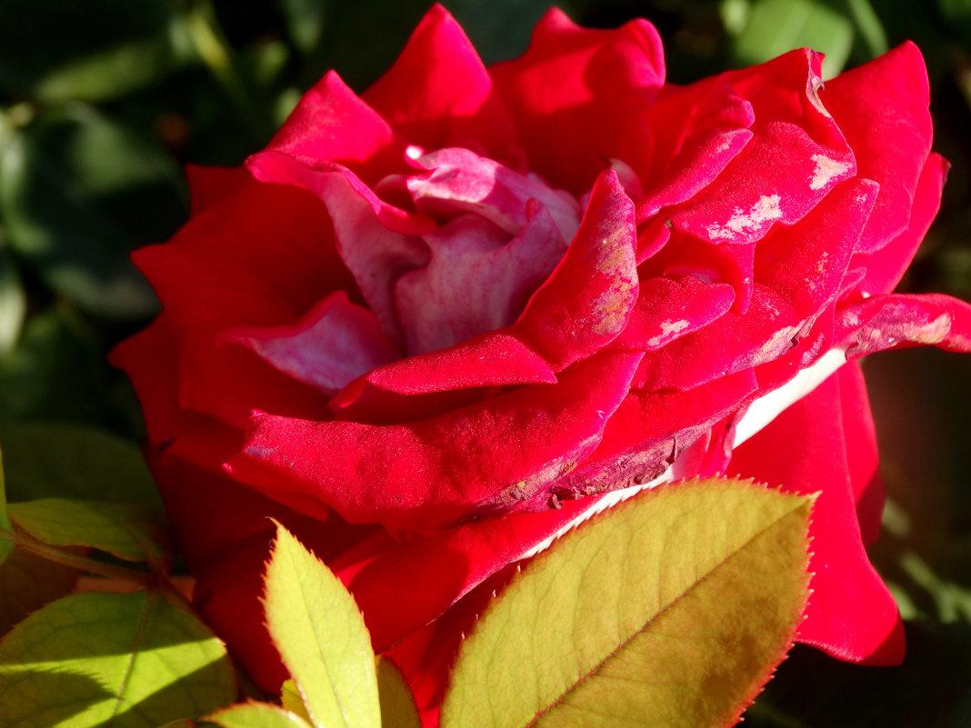 Роза в июле... - Тамара (st.tamara)