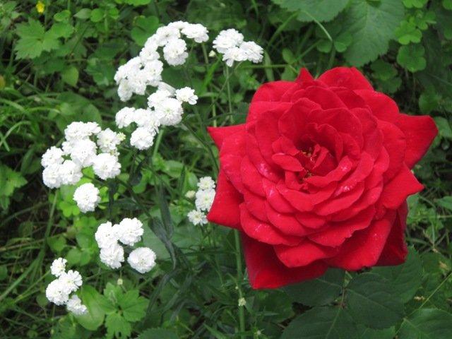 Роза красная моя - Дмитрий Никитин