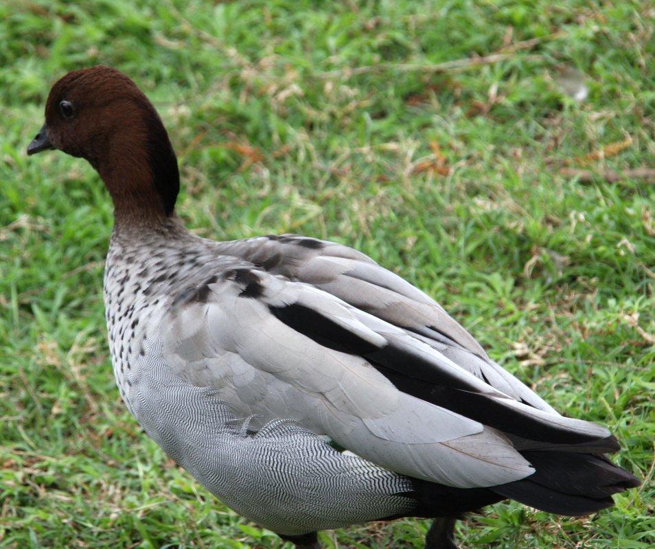 Гривистая утка