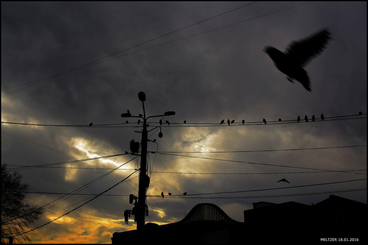 la paloma adieu - meltzer