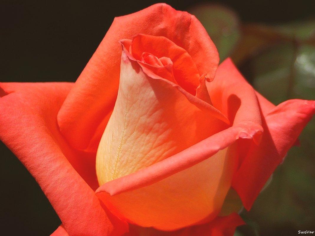 Дивная роза - Swetlana V