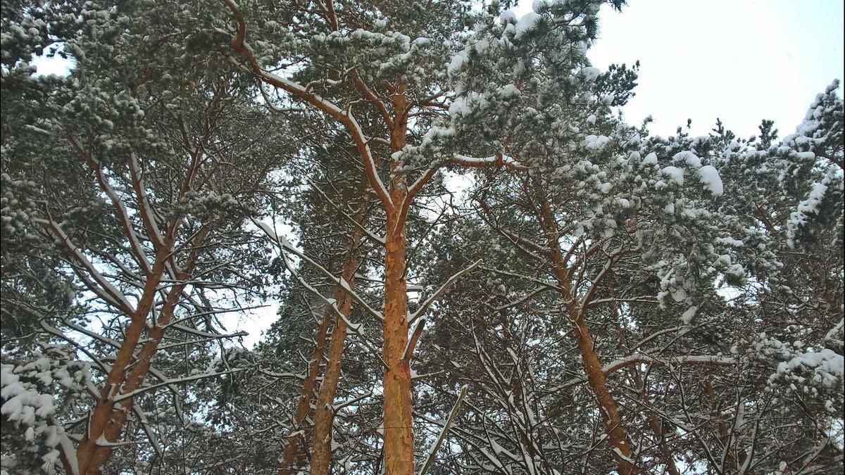 Как прекрасен лес зимой! - Марина Иванова