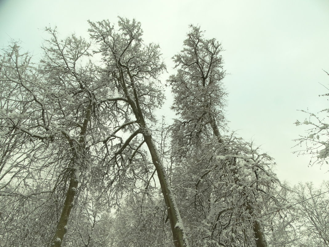 липы великанши - Михаил Жуковский