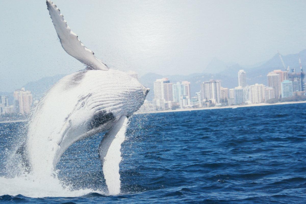 Миграция китов в ГолдКосте.Австралия - Антонина