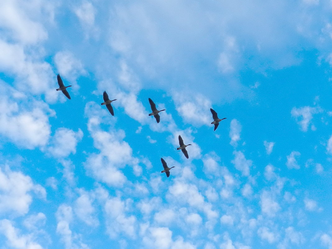 Гуси в небе Торонто.... - Юрий Поляков