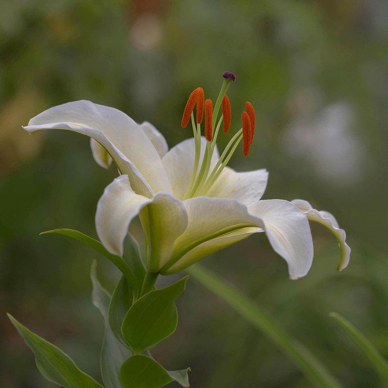 Белая лилия - Елена Ахромеева
