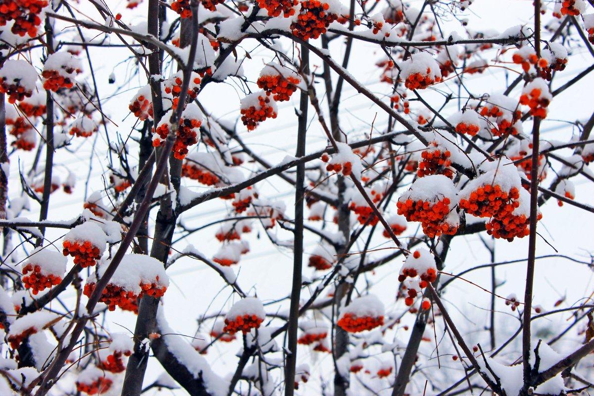 Рябина горит среди белых снегов и красок своих не теряет. - Валентина ツ ღ✿ღ