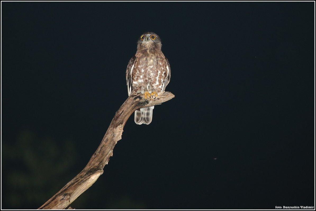 Иглоногая сова - vovafritz