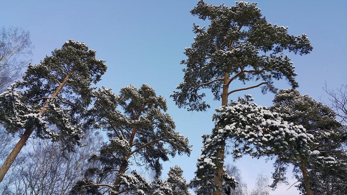 Сосны в шапках снега - Длинный Кот