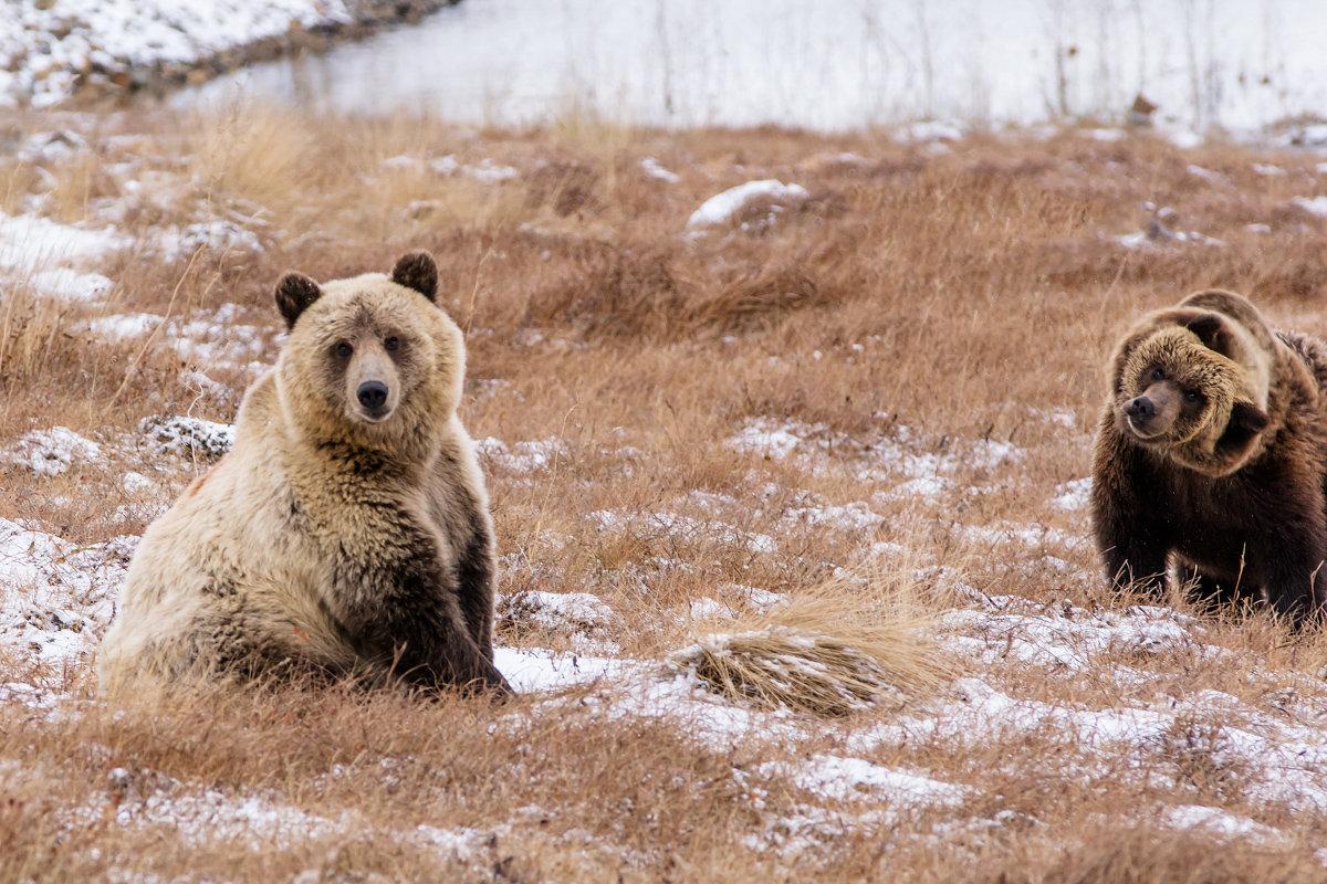Два медведя. - Юрий Харченко
