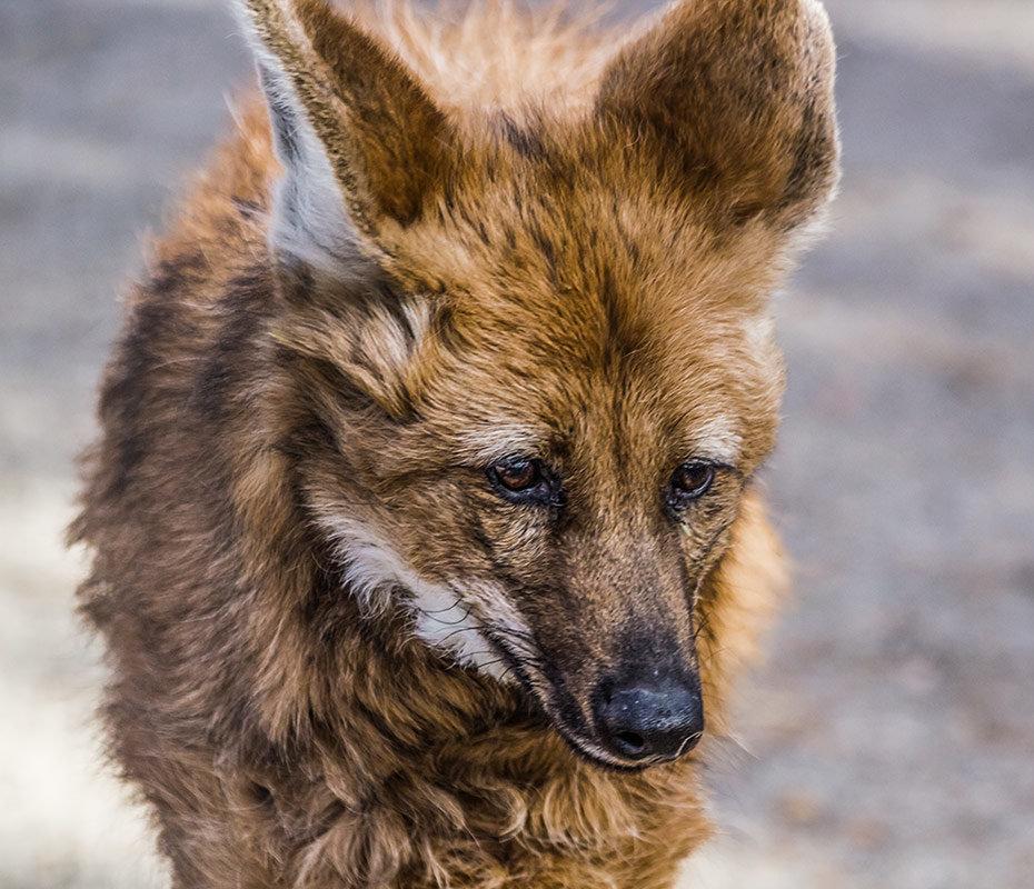 Гривистый волк - Nn semonov_nn