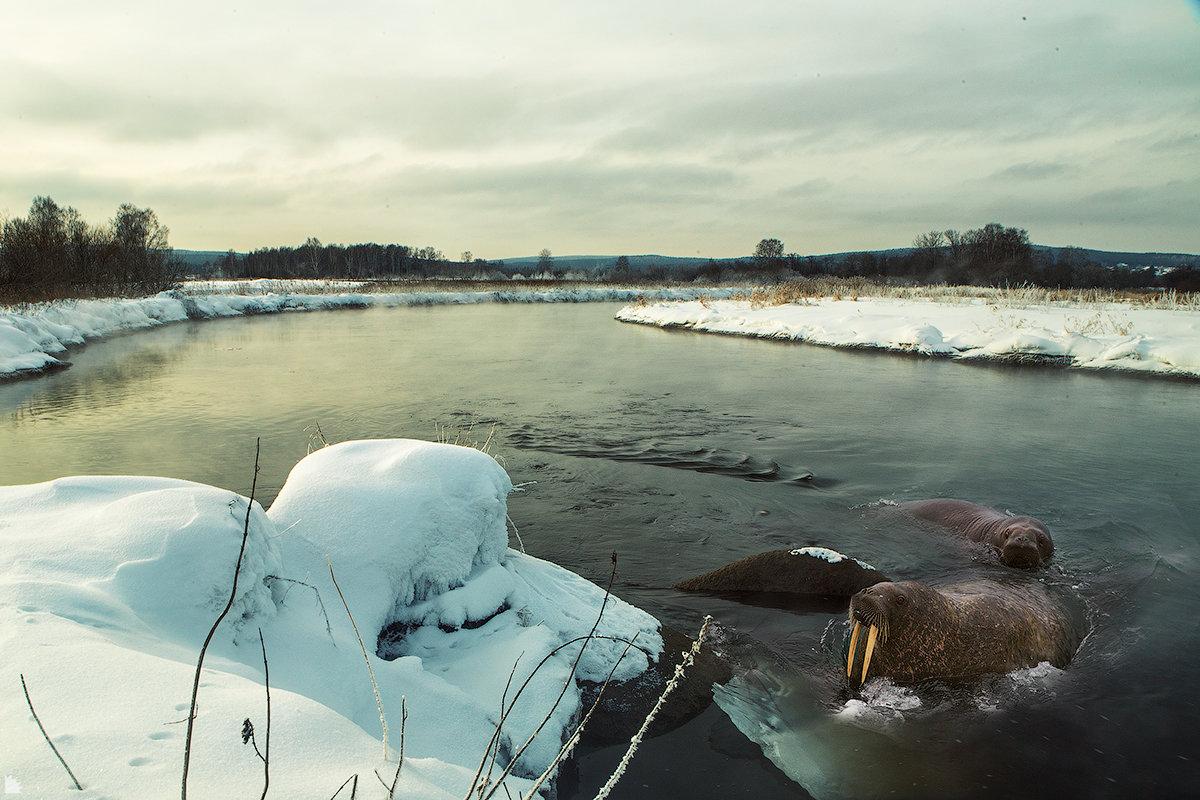 В низовьях реки Исеть была замечена семья моржей - Ежъ Осипов
